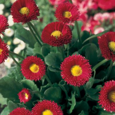 1.38-Pint Red Common Daisy Plant