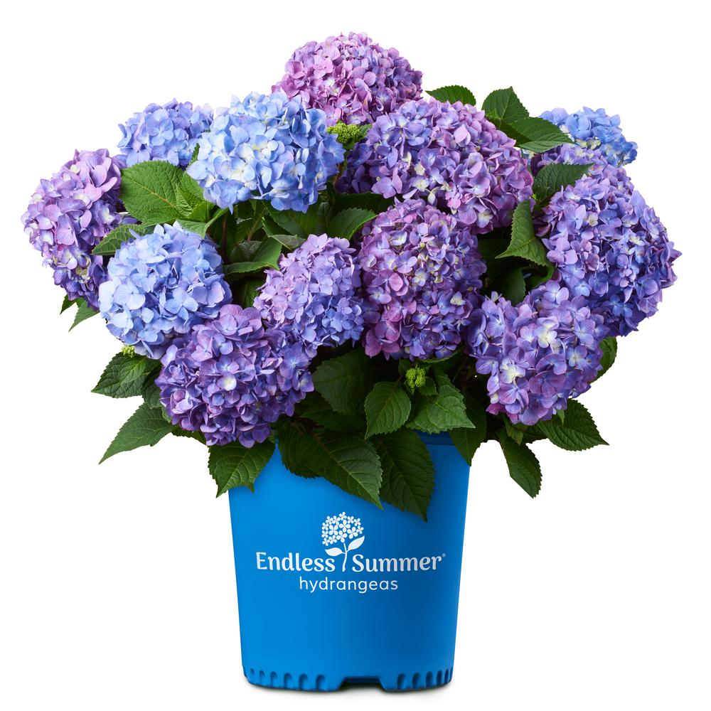 Endless Summer Endless Summer 2 Gal. Bloom Struck Hydrangea Plant with Pink and Purple Flowers