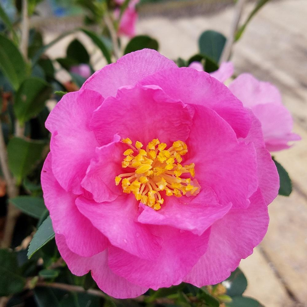 3 Gal. Stephanie Golden Camellia(sasanqua) - Evergreen Shrub with Pink Blooms,