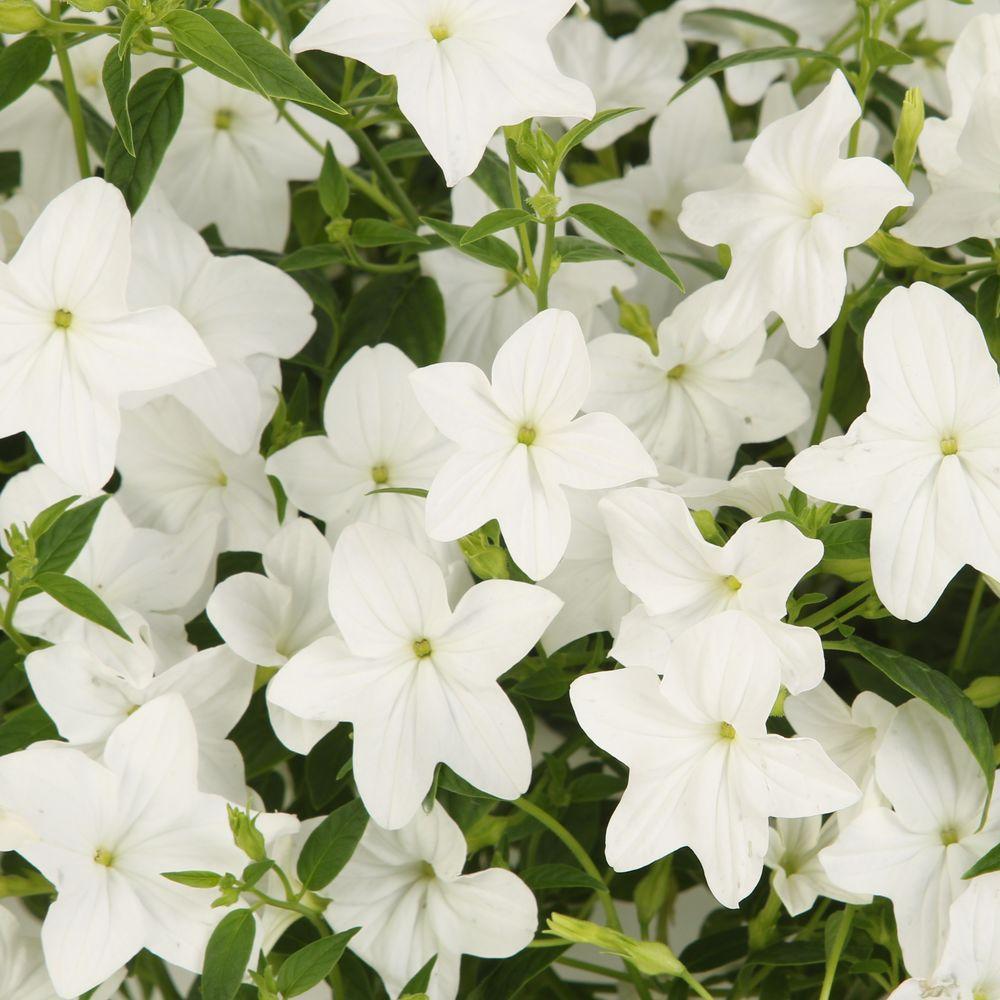 Flowering white full shade annuals garden plants flowers endless flirtation browallia live plant white flowers 425 in grande mightylinksfo