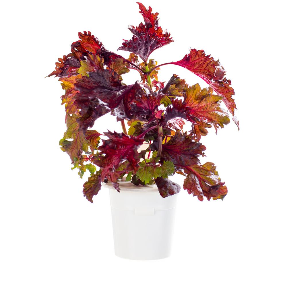 Red Shiso Refill for Smart Herb Garden (3-Pack)