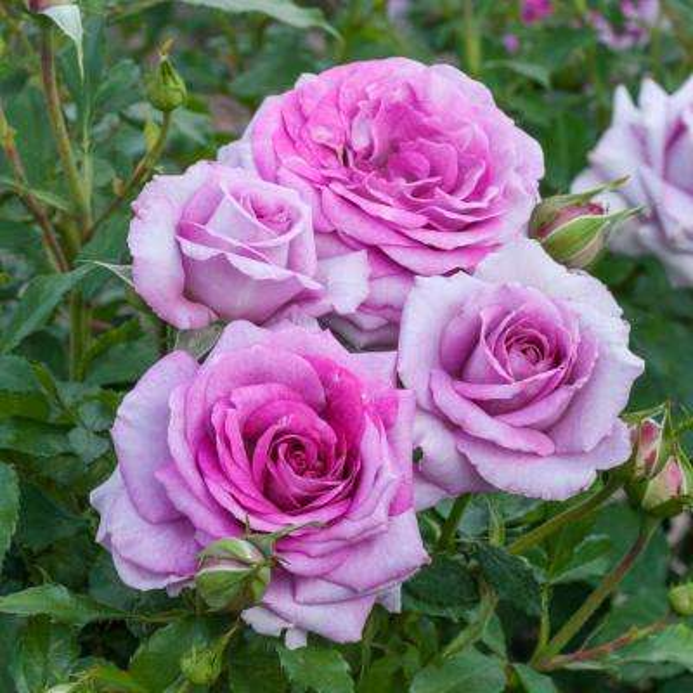 Life's Little Pleasures Miniature Rose Live Bareroot Plant with Purple Color Flowers (1-Pack)
