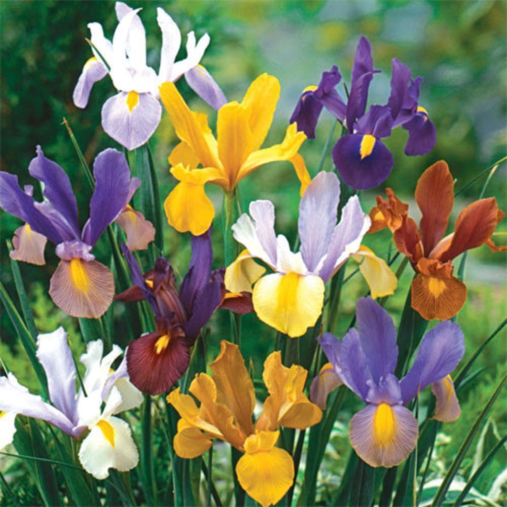 Dutch Iris Beauty Mix Bulbs (25-Pack)