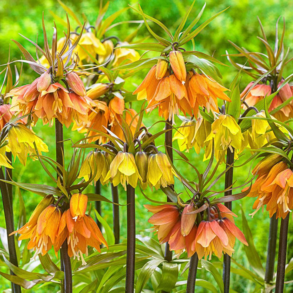 Crown Imperial Fritillaria Bulbs Mixture (3-Pack)