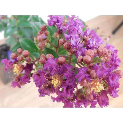 4 in. x 4 in. x 10 in. Crape Myrtle Purple Magic Container