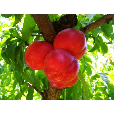 Independence Nectarine Tree (Bare-Root, 3 ft. to 4 ft. Tall, 2-Years Old)