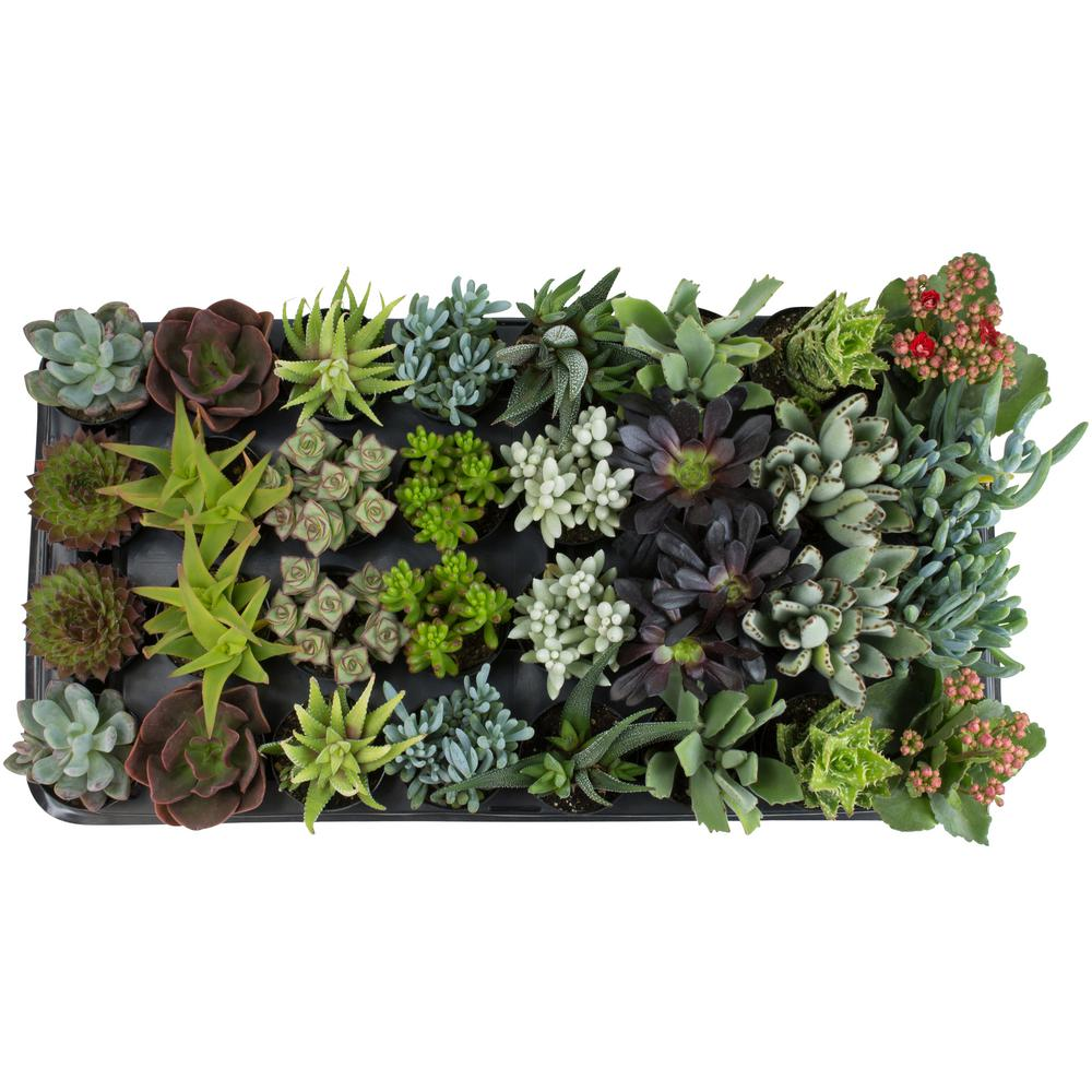 Altman Plants 2.5 in. Succulent Collection Plant (32-Pack)