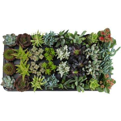 2.5 in. Succulent Collection Plant (32-Pack)