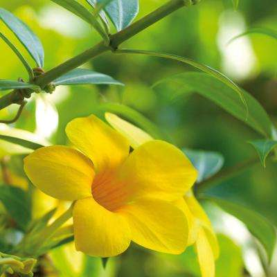 Trumpet Vine Flava Root Stock (1-set)