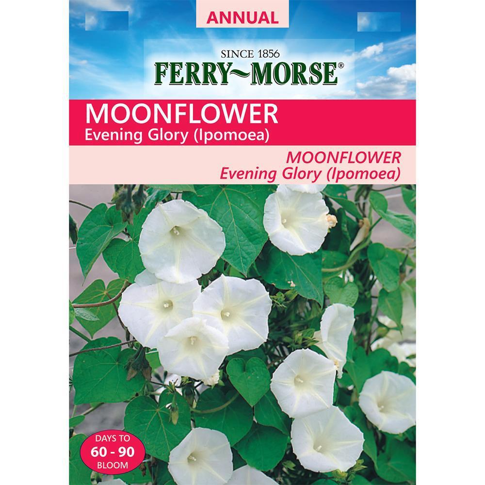 Moonflower Ipomoea Alba Evening Glory 5 Seeds