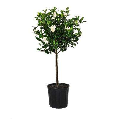 34.in to 40 in. Tall Gardenia Aimee Standard Live Gardenia Jasminoides Outdoor Plant in 9.25 in. Grower Pot