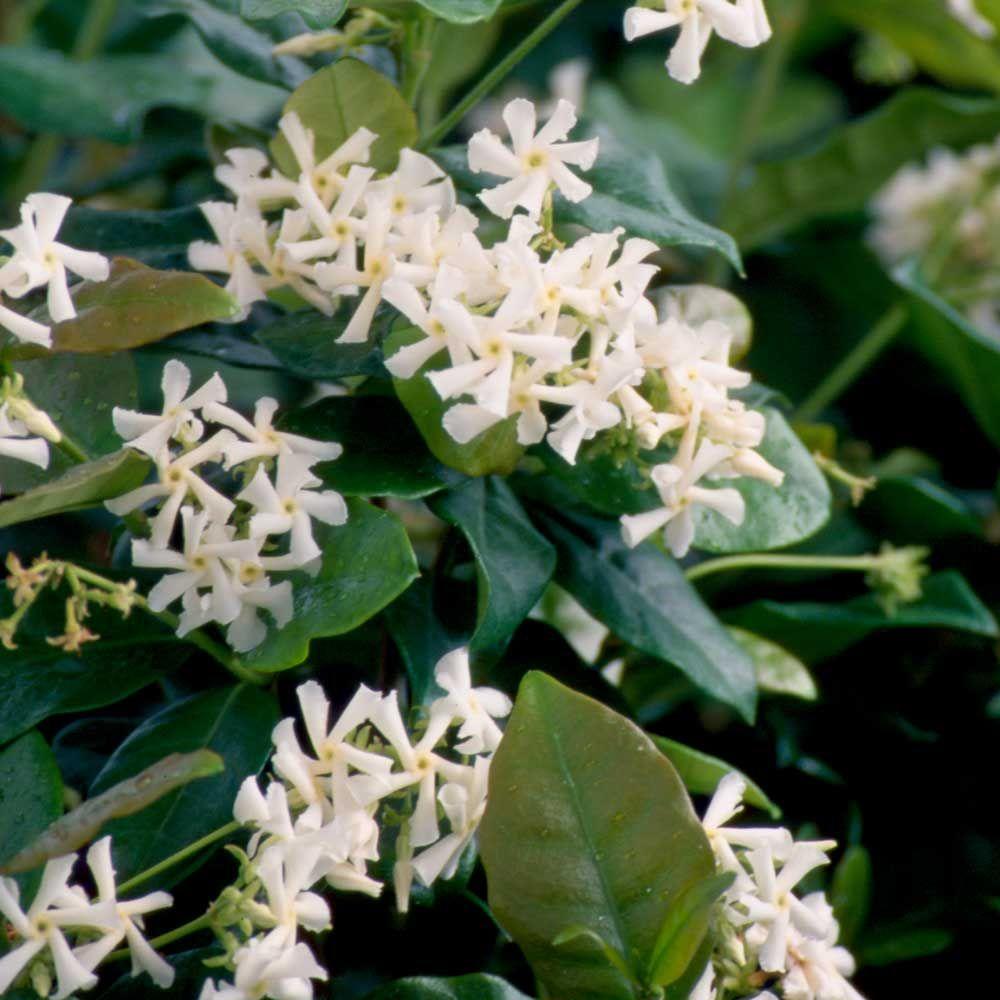 9.25 in. Pot Confederate Large Leaf Jasmine (Star Jasmine) Live Vine Plant White Fragrant Blooms