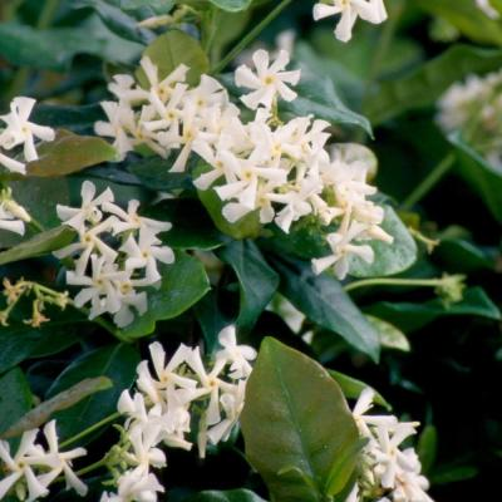 2.5 Qt. Confederate Large Leaf Jasmine (Star Jasmine) Live Vine Plant White Fragrant Blooms