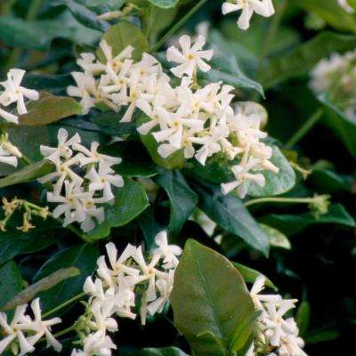 2.5 Qt. Confederate Large Leaf Jasmine(Star Jasmine), Live Vine Plant, White Fragrant Blooms