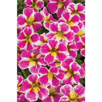 4-Pack, 4.25 in. Grande Superbells Holy Cow (Calibrachoa) Live Plant, Pink, White, and Yellow