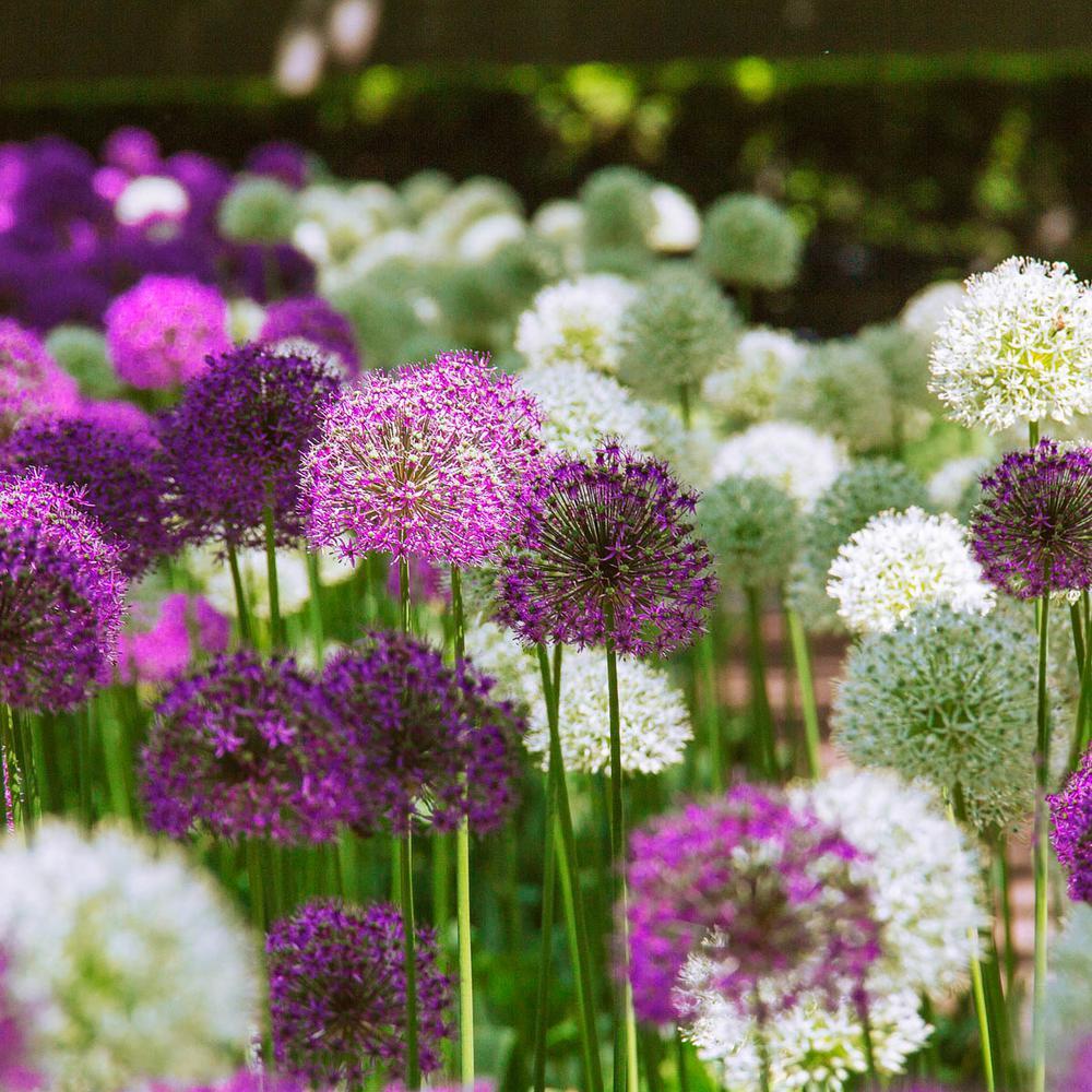 Duet Giant Allium Bulbs Mixture (10-Pack)