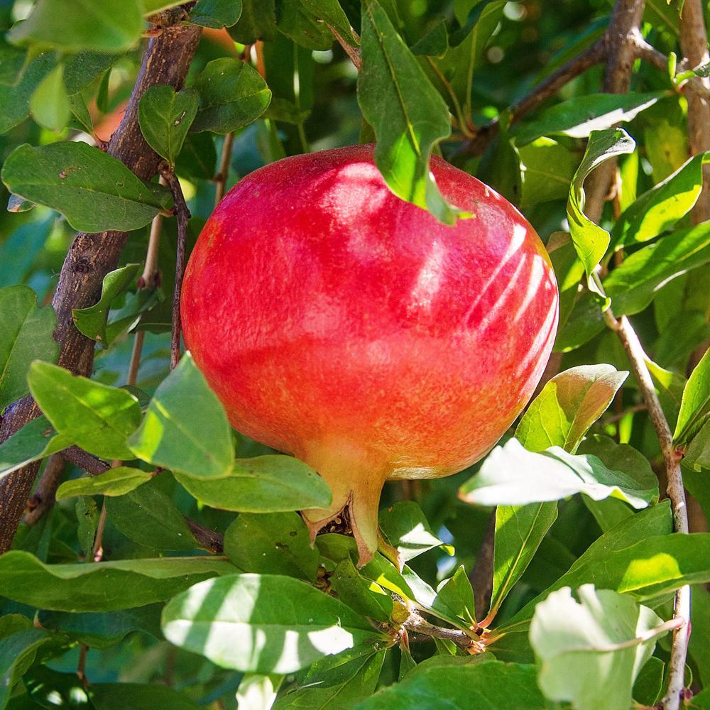 Russian Pomegranate Tree Pomrus05g The Home Depot