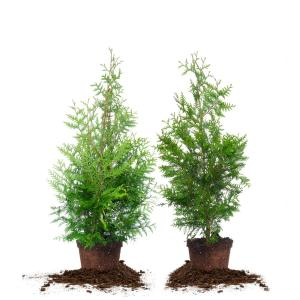 4 ft. - 5 ft. Thuja Green Giant Tree (2-Pack)