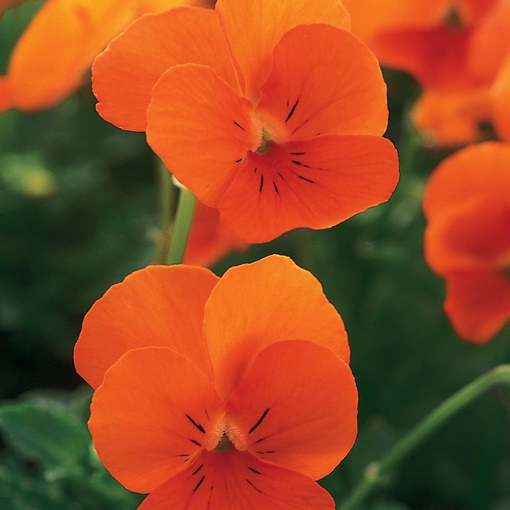 4.5 in. Orange Viola Plant