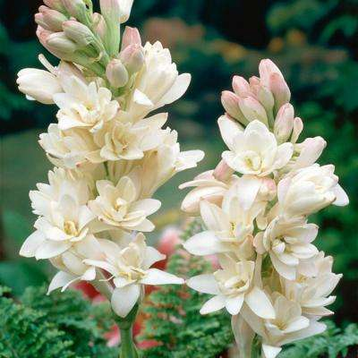 Tuberoses Polianthes Double Blooming Bulbs (5-Pack)