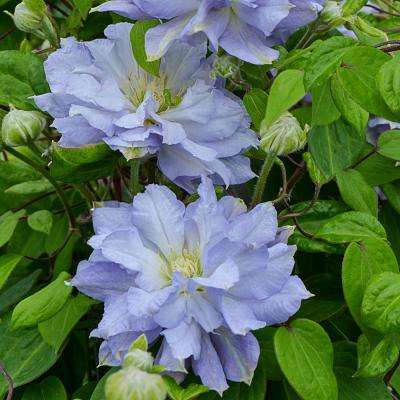 Diamond Ball Clematis, Live Bareroot Plant, Blue Flowering Perennial Vine (1-Pack)