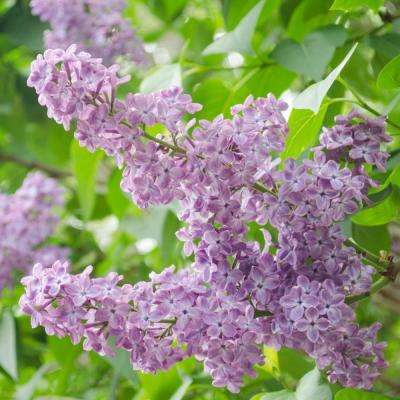 Pot President Grevy French Hybrid Lilac Syringa Live Potted Plant With Lavender Flowers