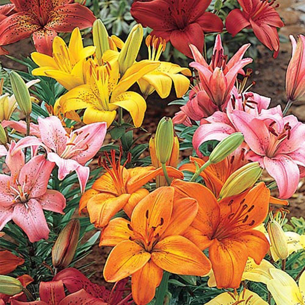 Brecks asiatic lily mix bulbs 8 pack 05021 the home depot brecks asiatic lily mix bulbs 8 pack izmirmasajfo