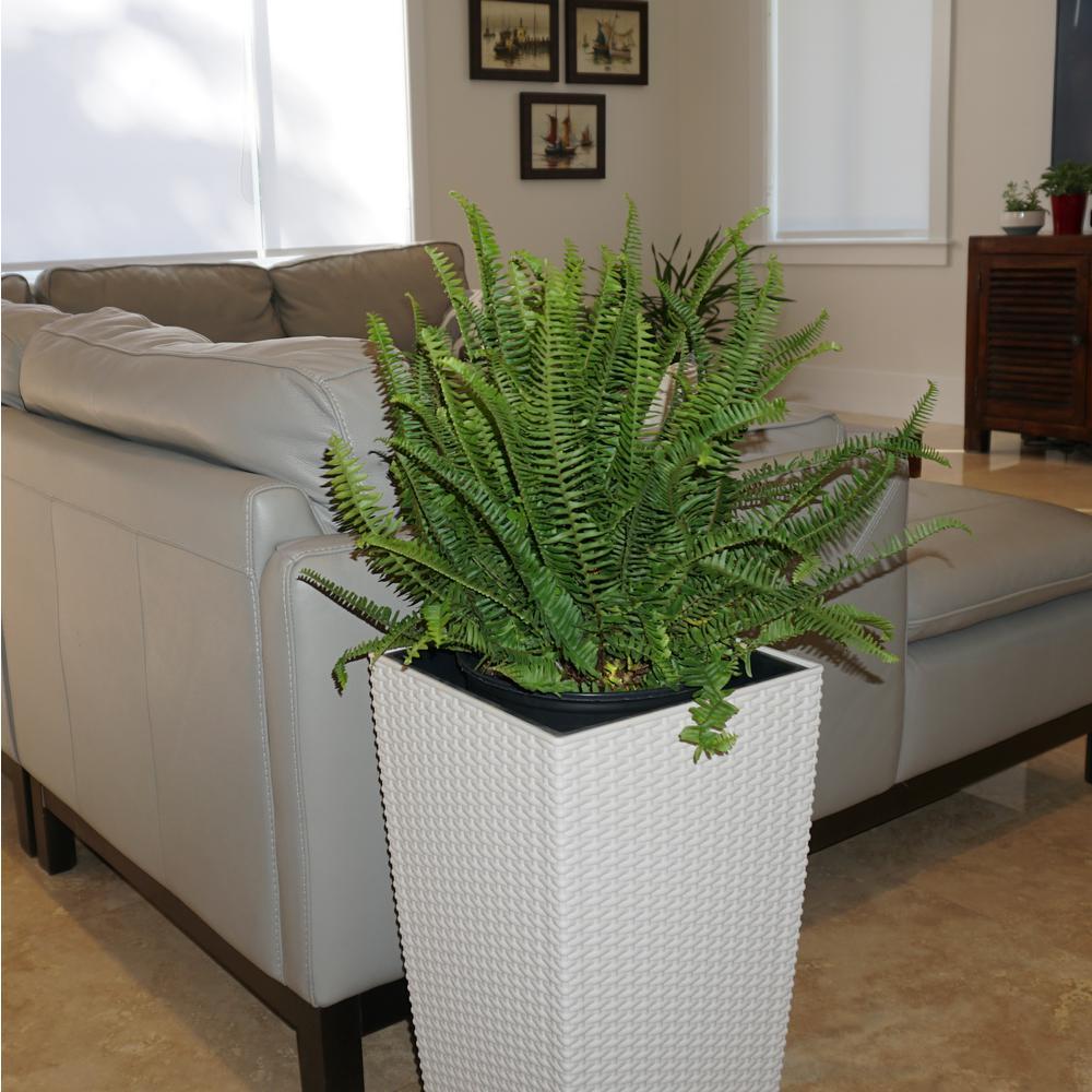 Kimberly Fern Plant in 9.25 in. Grower Pot