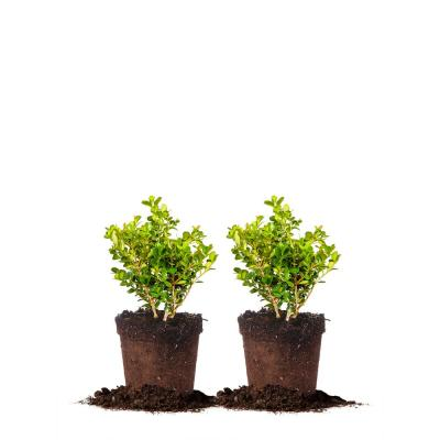 #1 Japanese Boxwood Shrub (2-Pack)