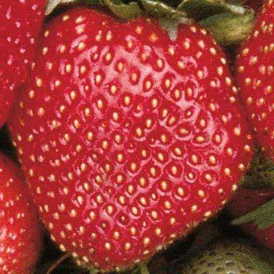 Sparkle Supreme Junebearing Bareroot Strawberry (25-Pack)