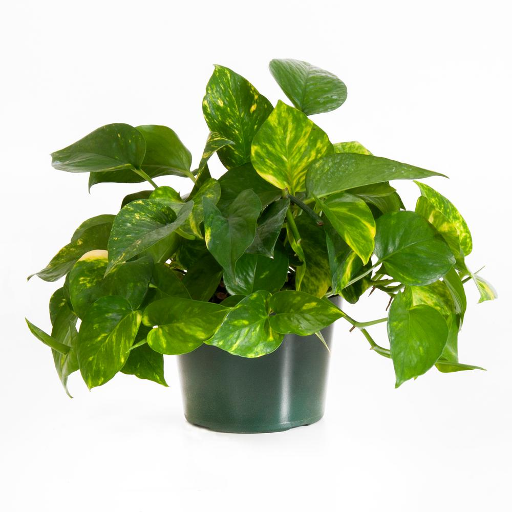United Nursery Golden Pothos in 6 in. Grower Pot