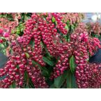 1 Gal. Interstella Lily of the Valley shrub Pieris Live Plant, Ruby Red Flowers