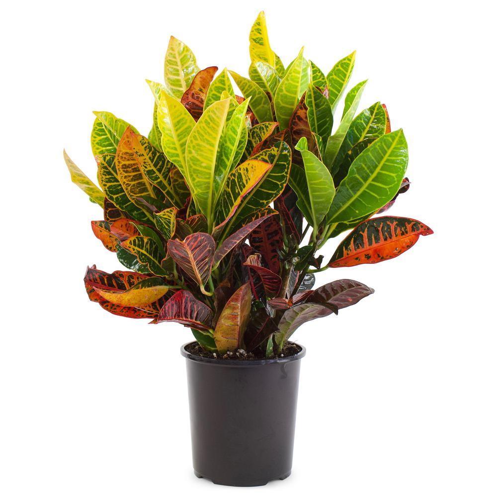 Pure Beauty Farms 1 Gal. Croton Petra (1-Plant)