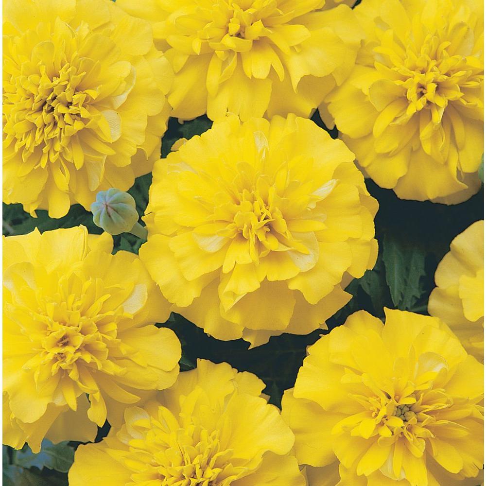 Artificial Marigold Flowers Near Me Flowers Healthy