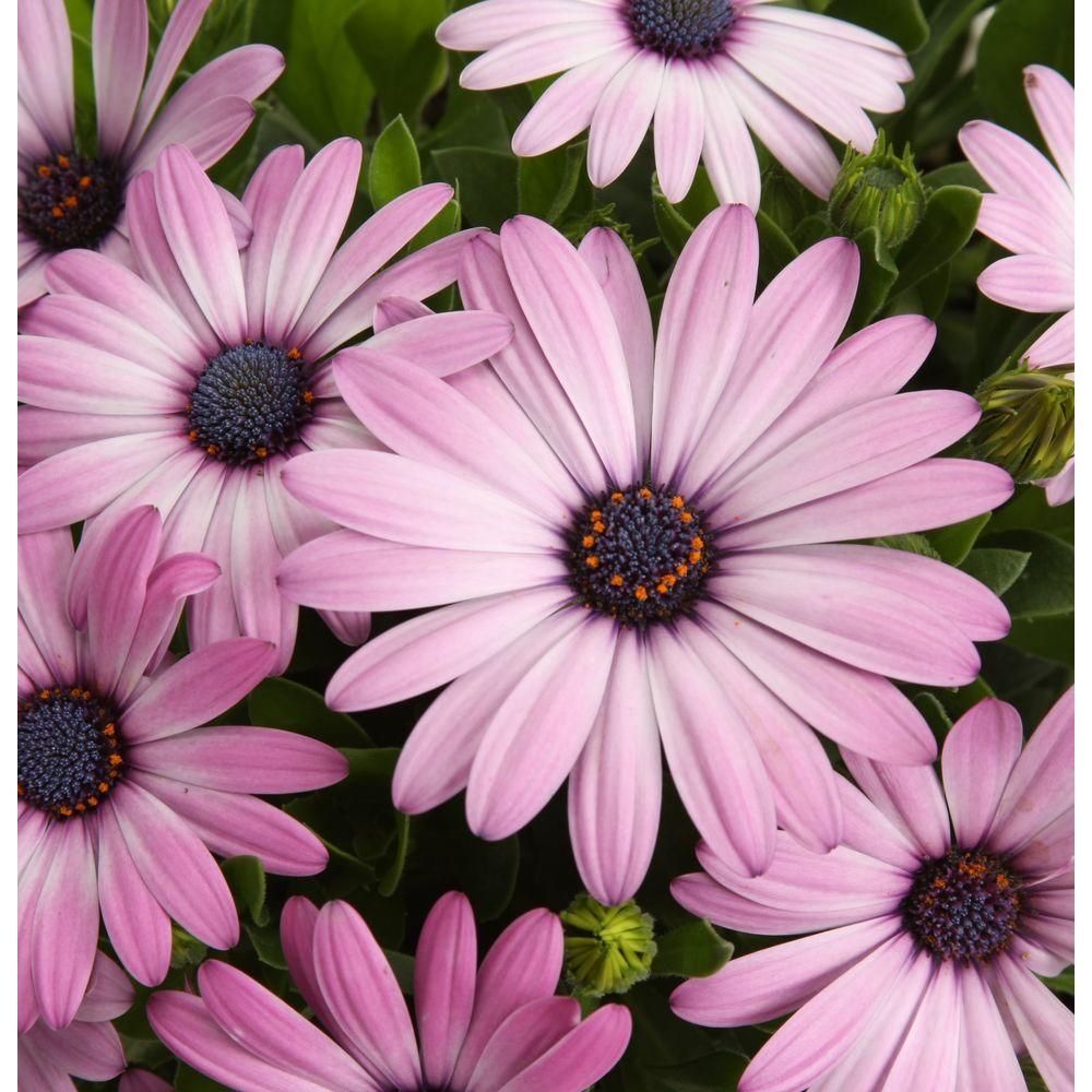 Proven Winners Soprano Light Purple Osteospermum 4.25 in. Grande-DISCONTINUED
