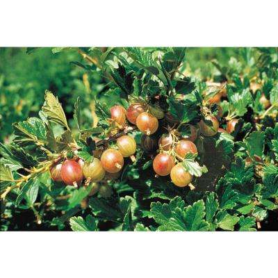 4 in. Pot Pixwell Gooseberry (Ribes) Live Fruiting Plant White Flowers with Green Foliage (1-Pack)