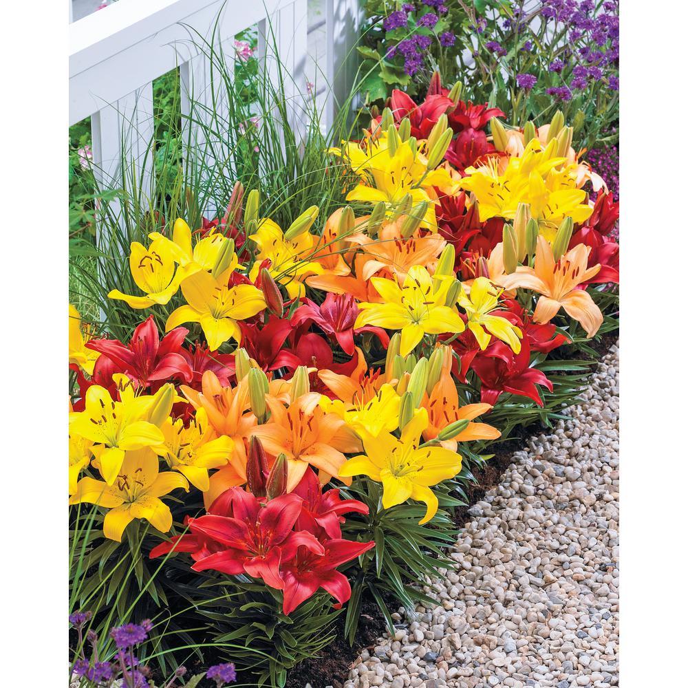 Asiatic Lily Dwarf Varieties Mix (15-Pack)