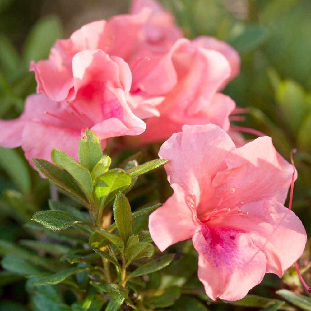 Encore Azalea 3 Gal Autumn Coral Encore Azalea Shrub With Bicolor Pink Reblooming Flowers 80493 The Home Depot