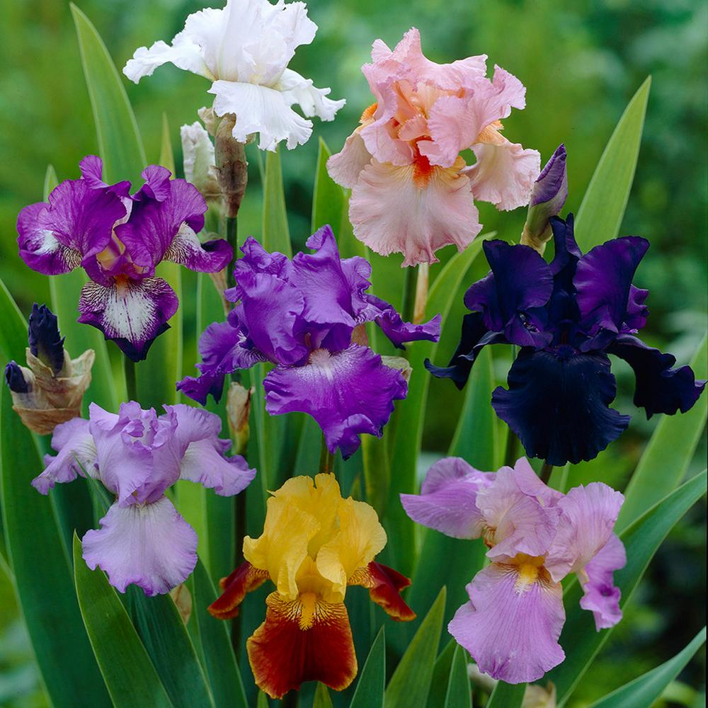 Iris Germanica Bulbs Breeder's Choice Mixture (Set of 5 Roots)