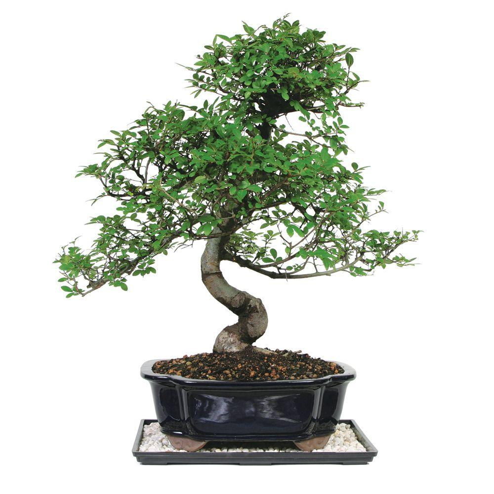 Brussels bonsai chinese elm tree ct 8003ce the home depot brussels bonsai chinese elm tree mightylinksfo