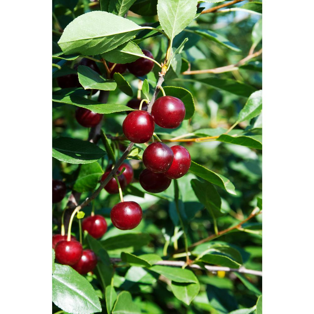 Juliet Dwarf Bush Cherry (Prunus), Live Bareroot Plant, Dwarf Fruit Tree