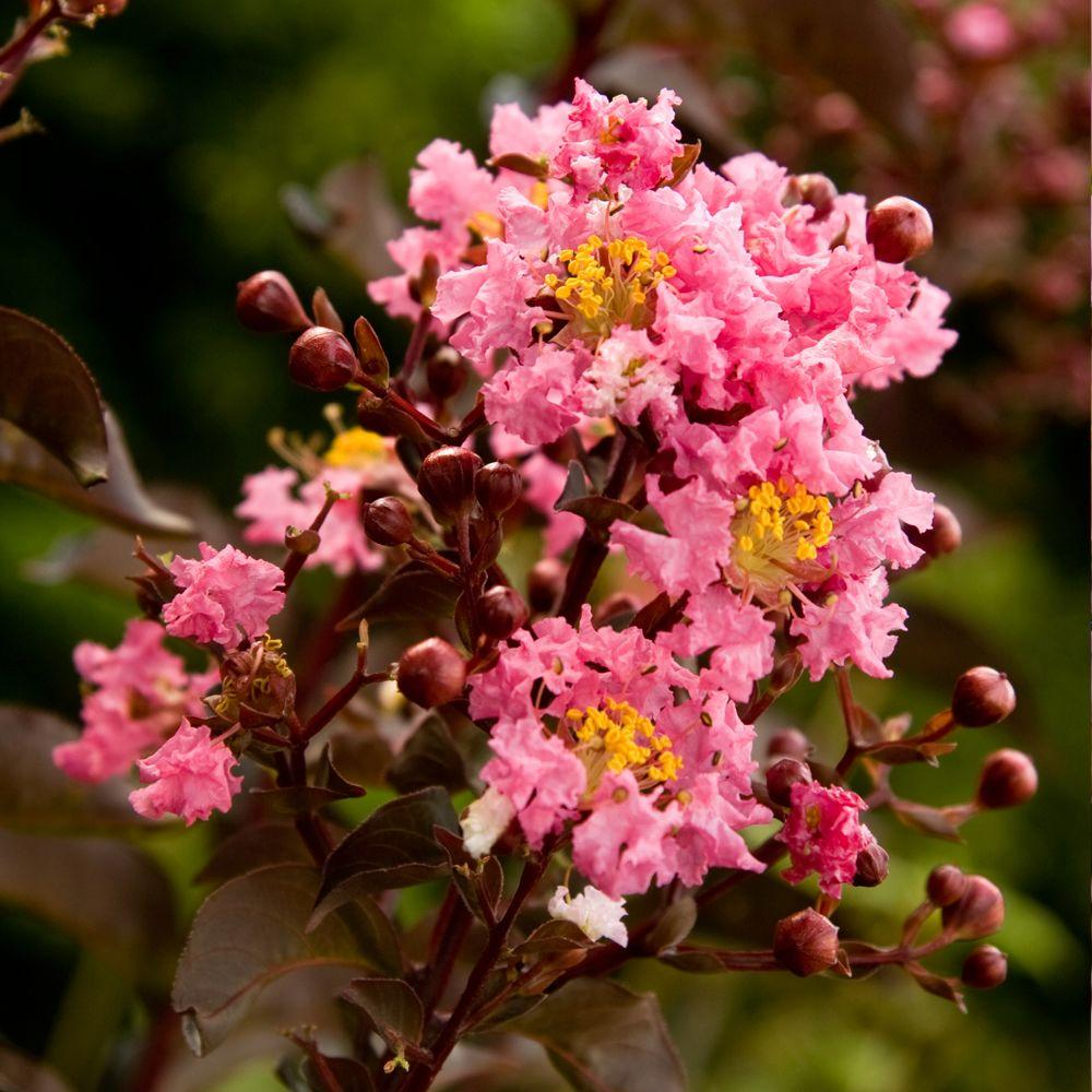 Southern living plant collection 2 gal delta jazz crapemyrtle live southern living plant collection 2 gal delta jazz crapemyrtle live deciduous shrubtree mightylinksfo