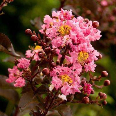 7 Gal. Delta Jazz Crapemyrtle, Live Deciduous Shrub/Tree, Burgundy Foliage, Bright-Pink Blooming