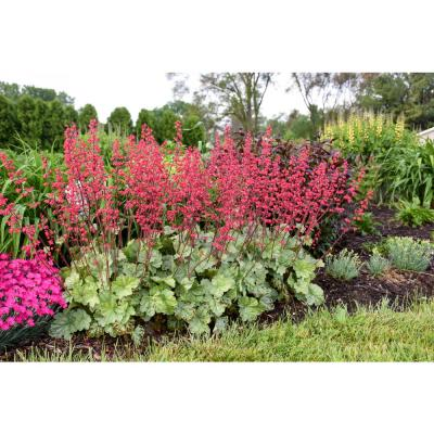 4.5 in. Qt. Dolce Spearmint Coral Bells (Heuchera) Live Plant in Pink Flowers and Silvery Green Foliage