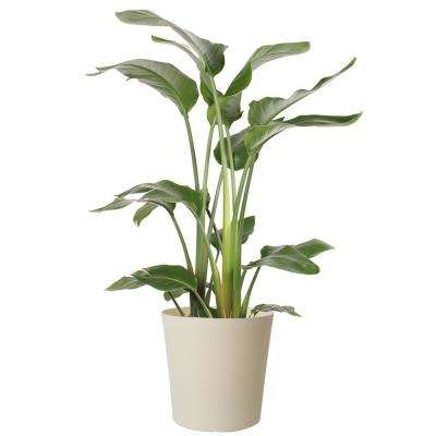 10 in. White Bird in Paradise Planter