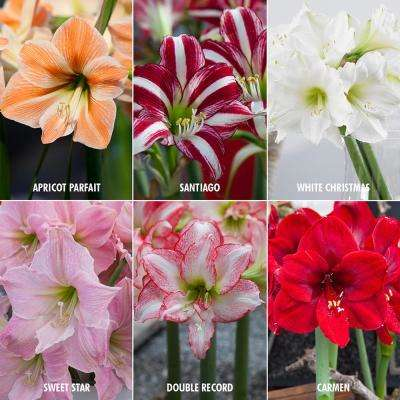 Exotic Amaryllis for Collectors (Set of 6)
