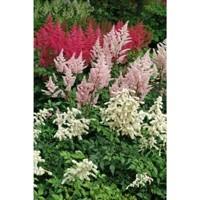 Astilbe Collection Bulbs (8-Pack)