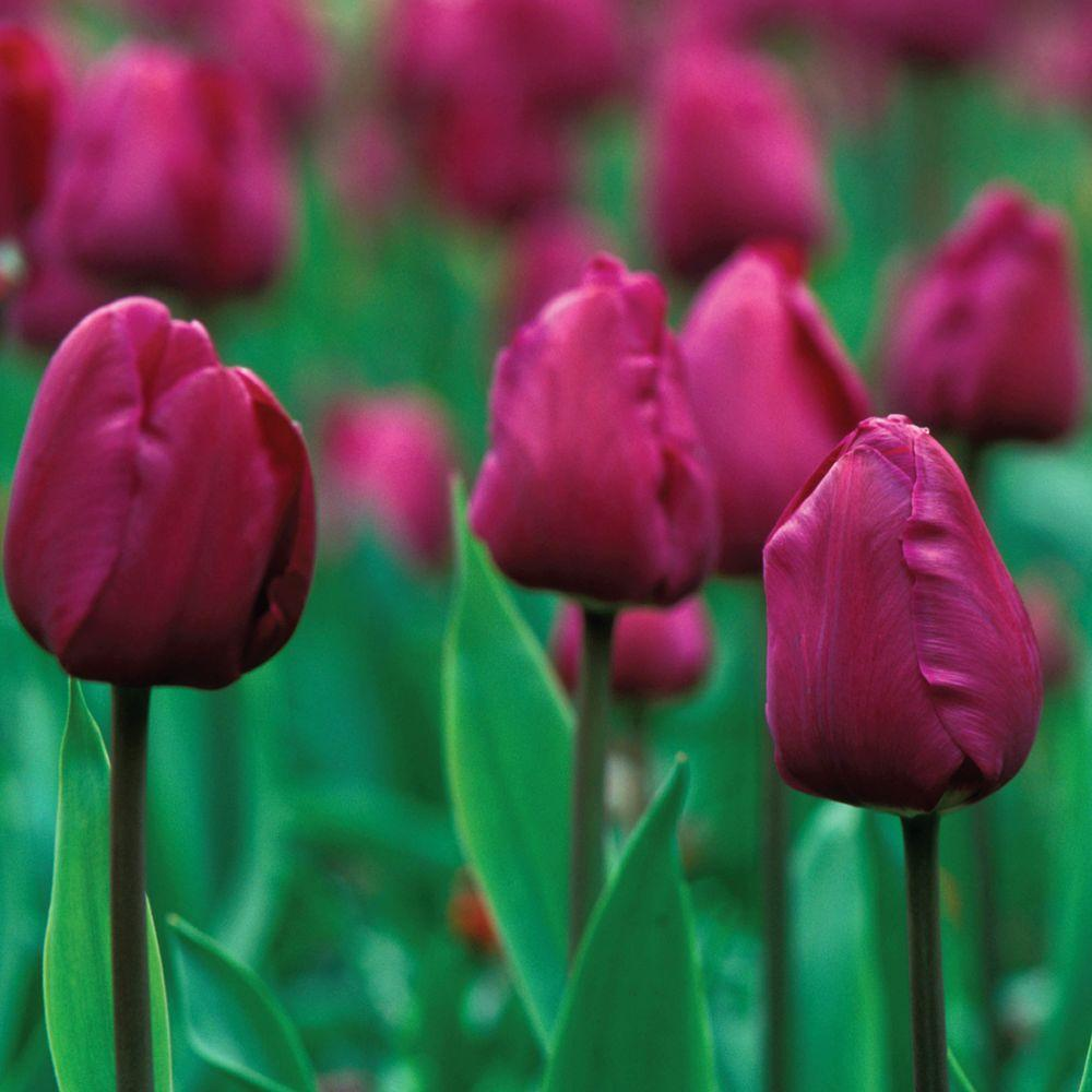 Martha Stewart Living Tulip Negrita Dormant Bulbs (50-Pack)