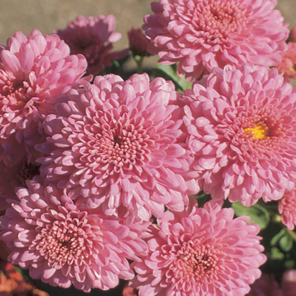 8 in. Pink Chrysanthemum Plant