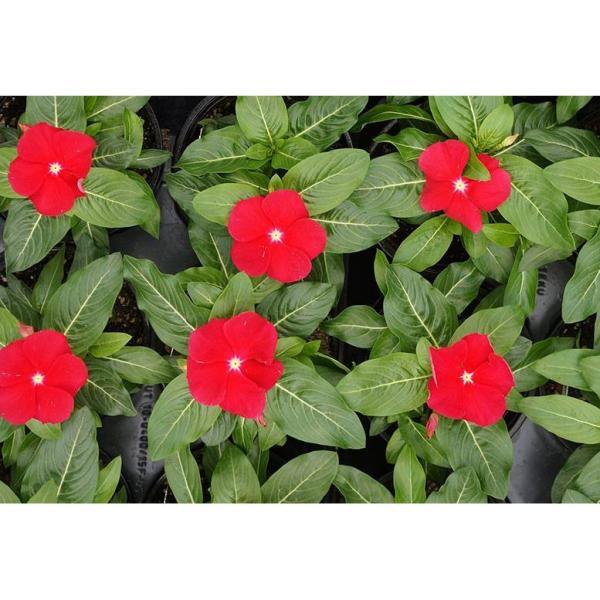 Vinca Cora Periwinkle Plant Red Flowers in 4.5 in. Grower's Pot (4-Plants)